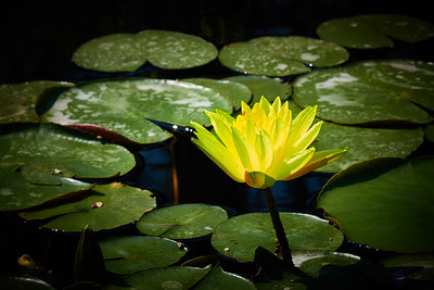 Arvid Bloom_Longwood Gardens Spring_Water Lily 1