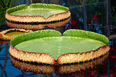 Arvid Bloom_Longwood Gardens Spring_Lily Pads