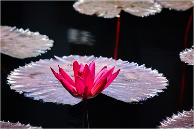 Arvid Bloom_Longwood Gardens Spring_Water Lily 2
