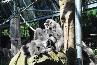 Silvery Gibbon - Mogo Zoo