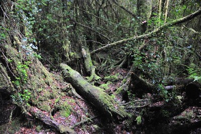 Forest growth, Gordon River, TAS