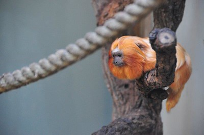 Golden Lion Tamarin - Mogo Zoo