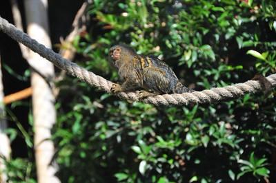 Pygmy Marmoset - Mogo Zoo