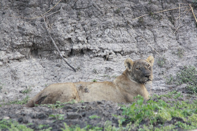 Black Face Lioness