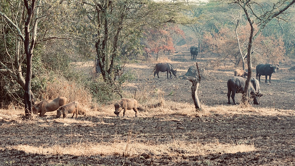 Warthogs and Buffaloes on dry plain