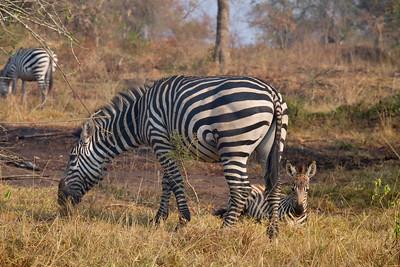 Zebra Mom and Baby