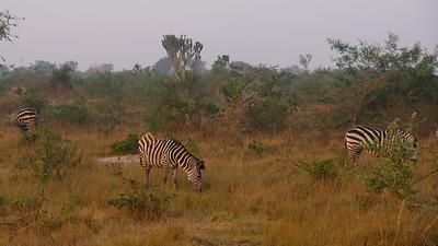 Warm morning light on zebras