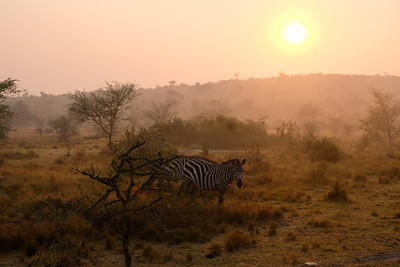 Zebras in bright morning light