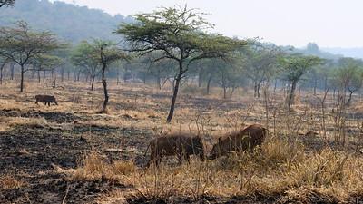 Warthogs feeding on dry acacia plain