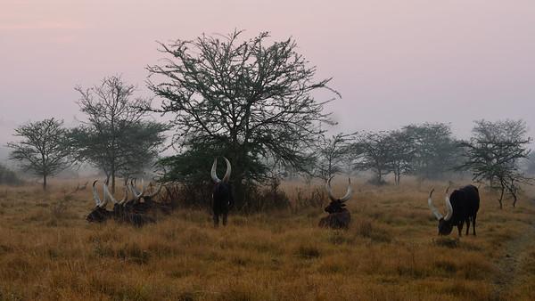 Ankole cows in sunrise