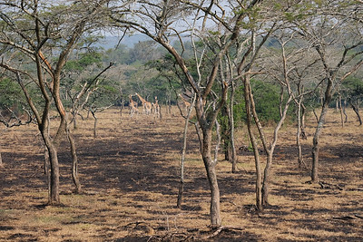 Acacia woodland and Giraffes in the distance II
