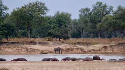 River of hippos and one elephant :-)