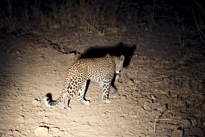 Leopard's night stroll