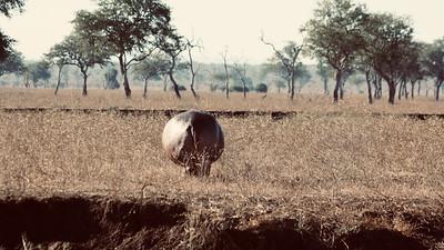 Hippo bums panorama :-)