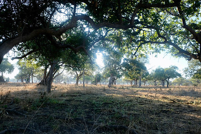 Chilly morning in mopane woodland