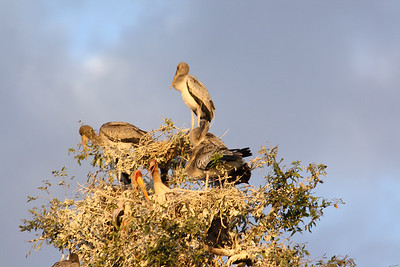 Yellow-billed storks in a nest