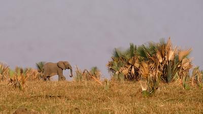 Elephant Walking on the Horizon