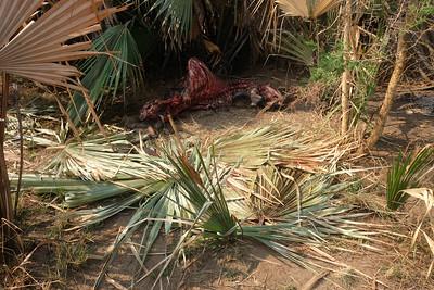 Buffalo Carcass (killed by poachers)