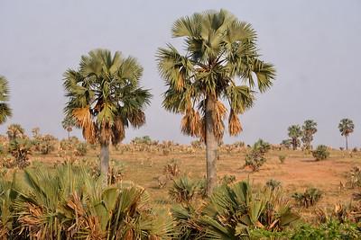 Dry Borassus Landscape