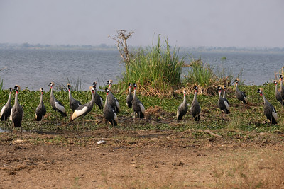 Large Colony of Crown Cranes