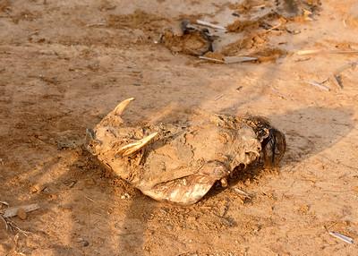 Fresh Warthog Skull