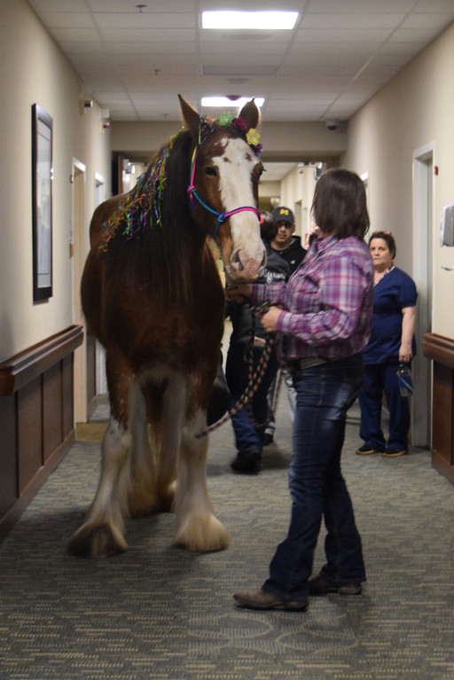 . Clydesdale Rene, affectionately known as Neigh-Neigh, returned to the Village of East Harbor in Chesterfield Township on April 16, 2019, to visit residents at the senior living community. (Photos by Katelyn Larese)