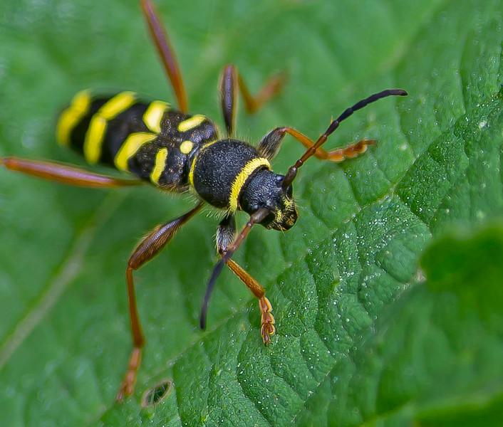 Clytus arietis (Müller, 1764) Longhorned Beetle