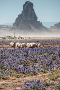 Sheep in Monument Valley