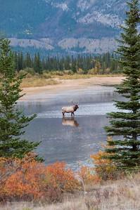 Jasper Elk