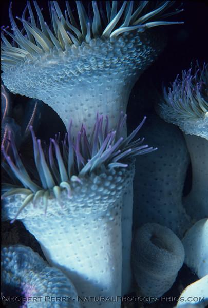 Anthopleura elegantissima side view CLOSE log 897 - 1982-06