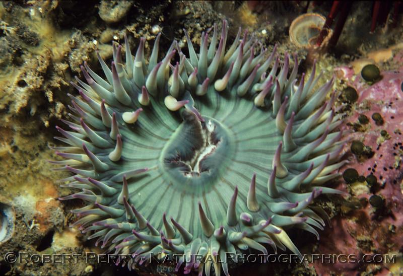 Anthopleura elegantissima CLOSE log 678 Anacapa 1979-12 - 003