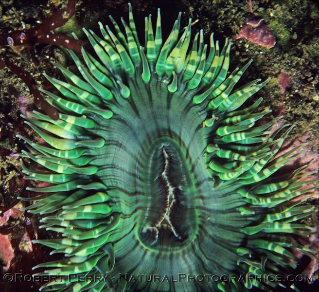 Anthopleura elegantissima CLOSE log 678 Anacapa 1979-12
