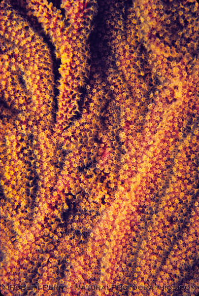 Muricea californica sea fan CLOSE 1977-12