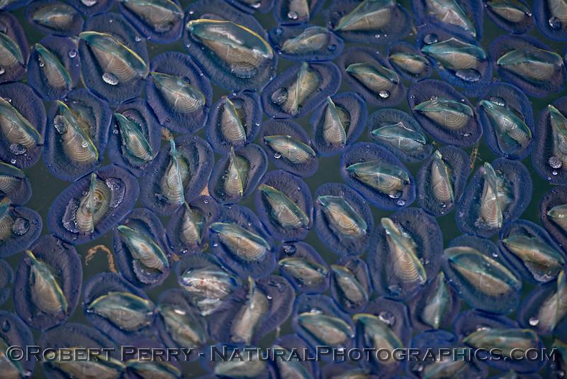 Velella velella many on surface 2015 04-21 SB Coast-058