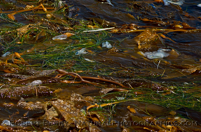 Macrocystis Velella Phyllospadix paddy 2014 08-13 SB Channel-c-021