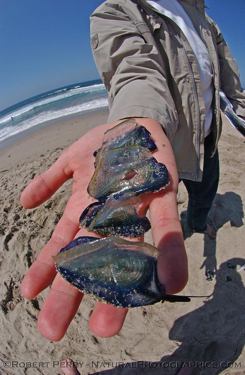 CNIDARIA beach debris Velella velella purple sailor in student hand 2004 04-22 Zuma--1003