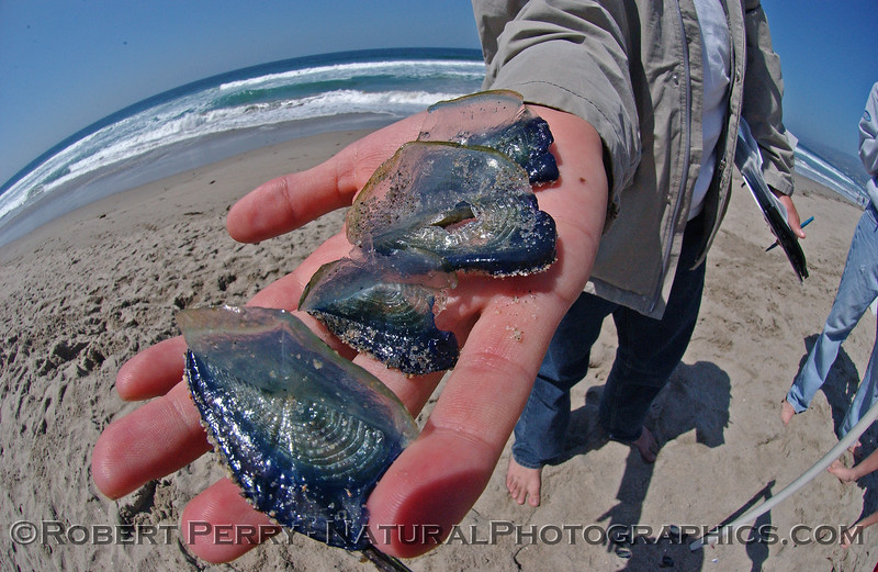 CNIDARIA beach debris Velella velella purple sailor in student hand 2004 04-22 Zuma--1002