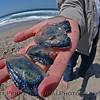 CNIDARIA beach debris Velella velella purple sailor in student hand 2004 04-22 Zuma--1002