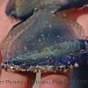 CNIDARIA beach debris Velella velella purple sailor in student hand 2004 04-22 Zuma--1005