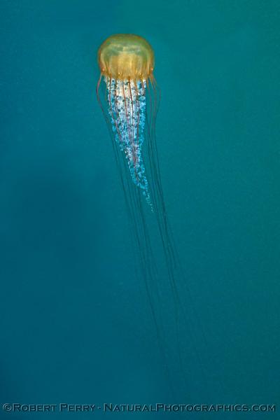Chrysaora fuscescens 2017 07-09 Monterey-294
