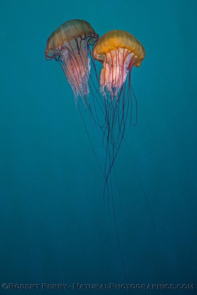 Chrysaora fuscescens 2017 07-09 Monterey-047