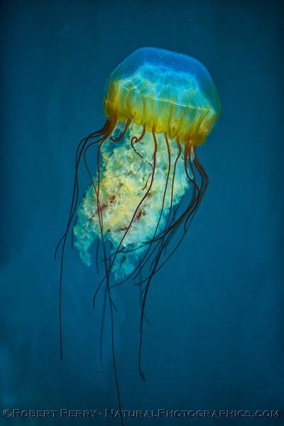 Chrysaora fuscescens 2017 07-10 Monterey-014