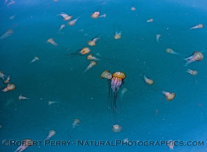 Chrysaora fuscescens 2017 07-10 Monterey-a-050