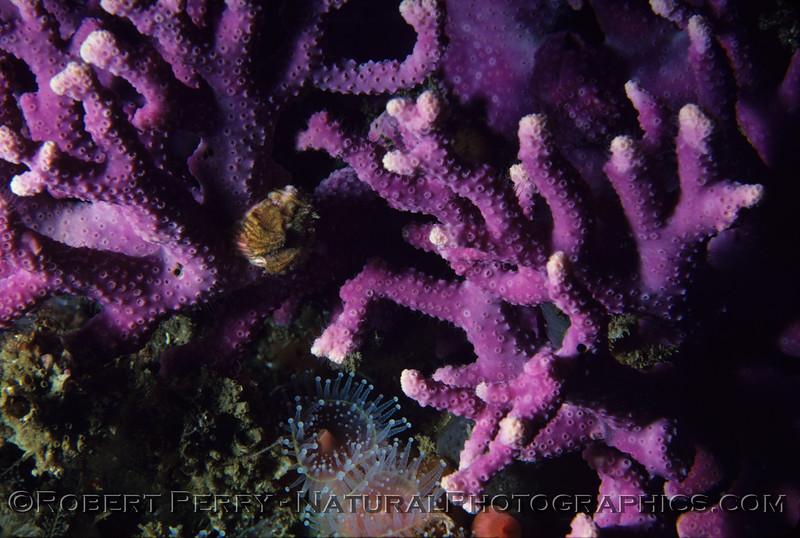 Allopora californica Santa Cruz Is log 687 1980-05-003