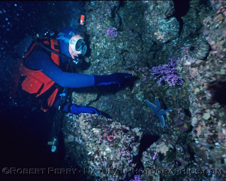 Allopora californica purple coral UW w Suellen log 943 Sta Barbara Isl 1983-05