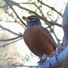 Good cookie... American Robin