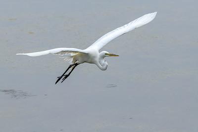 Great Egret in Flight 1