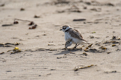 Western Snowy Plover Chick, Sheltering 6