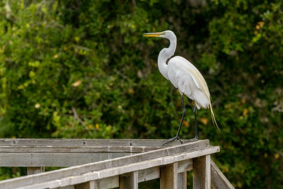 Great Egret on the Bridge to Nowhere