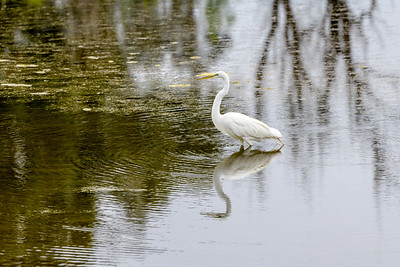 Great Egret and Reflections 1